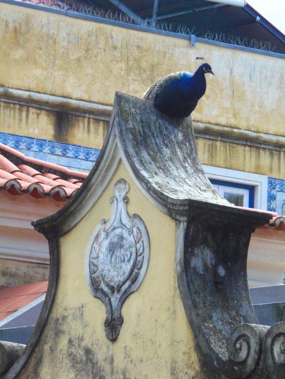 Paon, château Sao Jorge, Lisbonne, Lisboa, Portugal