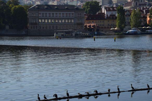 oiseaux Vtlava prague