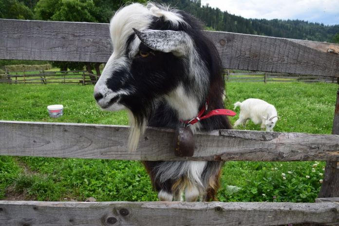 mon amie la chèvre en Bucovine